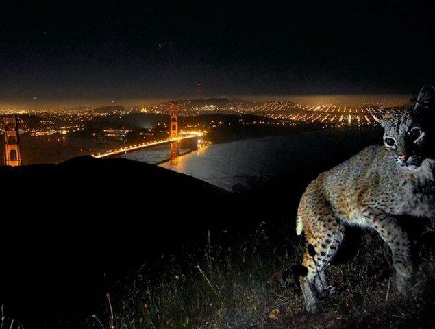 Amazing photo: Bobcat takes 'selfie' above Golden Gate Bridge https://t.co/wVYYYsKnKd