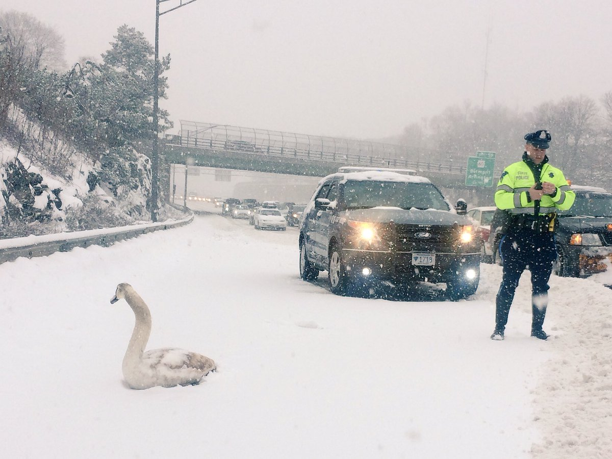 Wicked weathah! This swan had enough and decided to head west on route 2 to find greener pastures. https://t.co/xanGBn1J2o