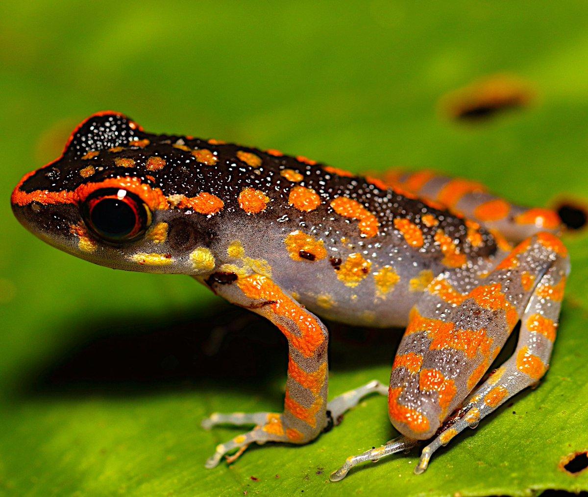 "John White Wildlife On Twitter: ""Spotted Stream Frogs"