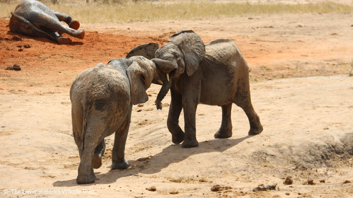 You Wouldnt Want To Get Caught Between >> Sheldrick Wildlife On Twitter You Wouldn T Want To Get Caught