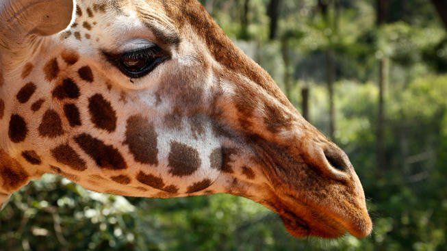 The giraffe, the tallest land animal, is now at risk of extinction, biologists say.