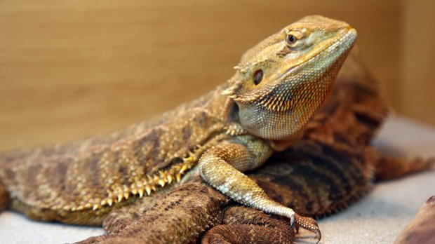 Guelph woman, 23, charged after bearded dragon taken from pet store dies
