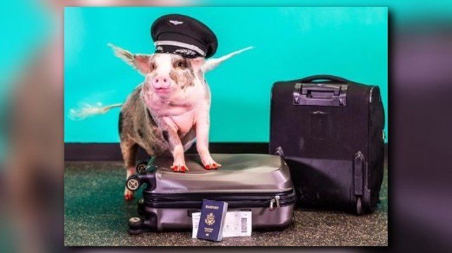 San Francisco airport introduces first 'therapy pig'