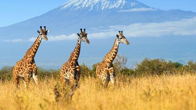 Giraffes are at risk of becoming extinct, biologists say...