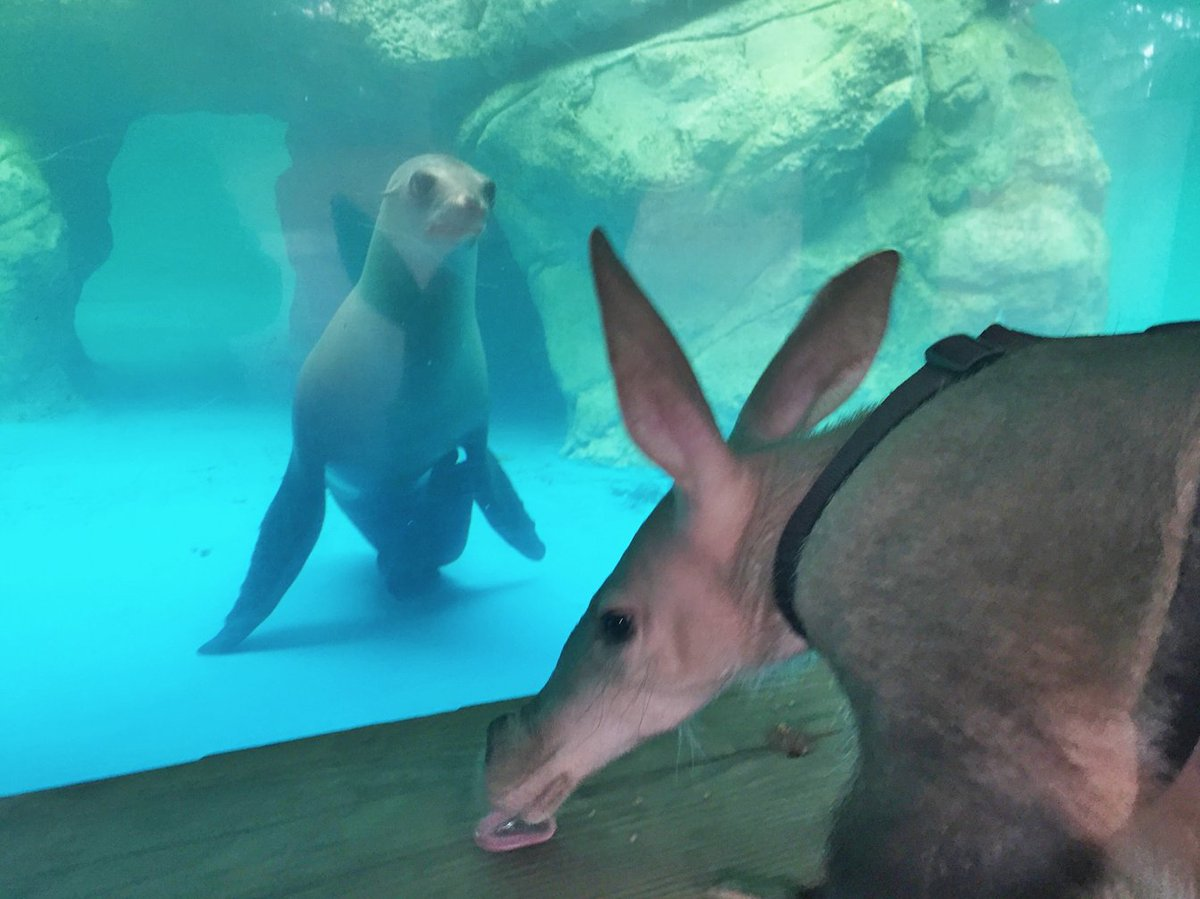 Roux, a four year old California Sea Lion, and Leia, our two year old Aardvark met for the first time! https://t.co/EeSEYvf5oH
