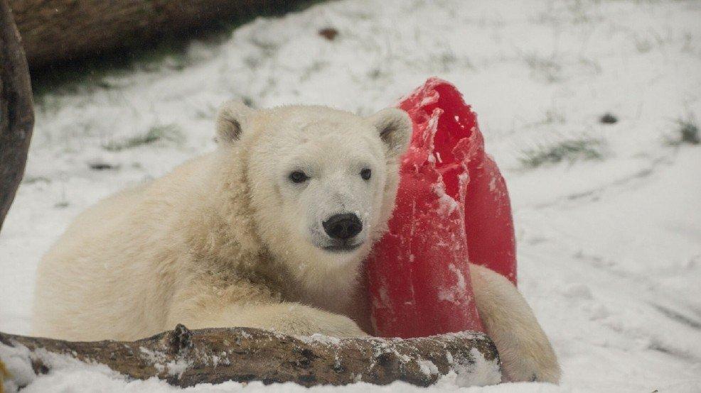 Despite closure, Oregon Zoo animals play in the snow >>