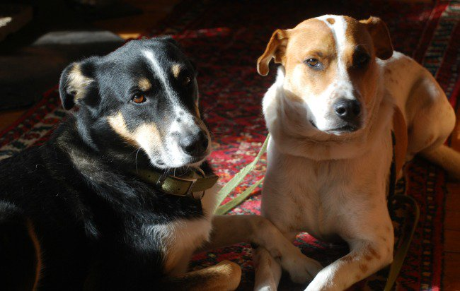 WANTED: our dogs chased a rabbit into the woods in @ZorraTwp near Harrington/Wildwood area. Please contact us if found. @richcraftiron https://t.co/NbMyskmtb2