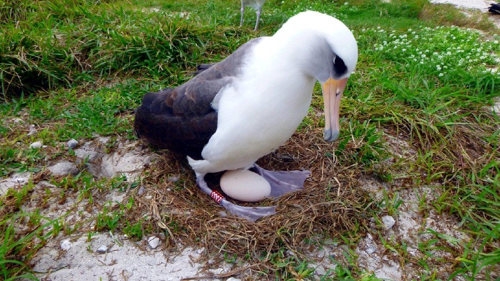 The world's oldest known seabird is expecting - again