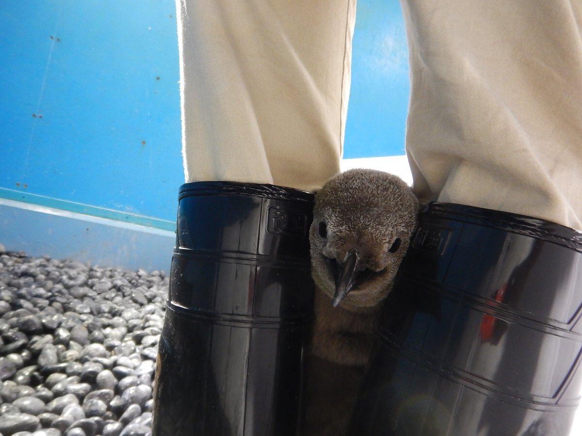 飼育員の脚の間に挟まる赤ちゃんペンギン?