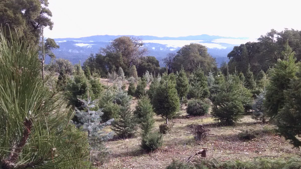 paul rogers on twitter nice sunday morning today up at crest ranch christmas tree farm in the santa cruz mountains bonny doon california