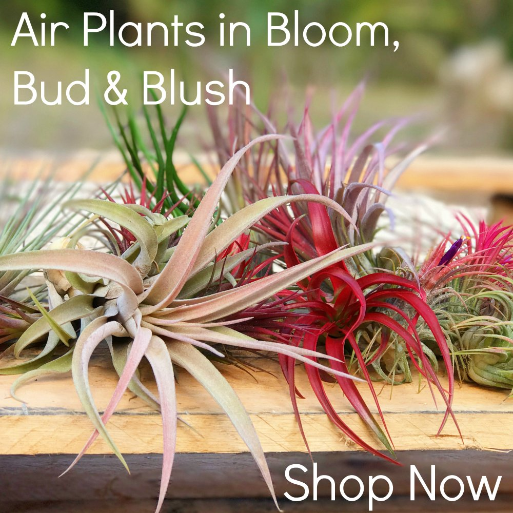 air plant supply co airplantsupply twitter. Black Bedroom Furniture Sets. Home Design Ideas