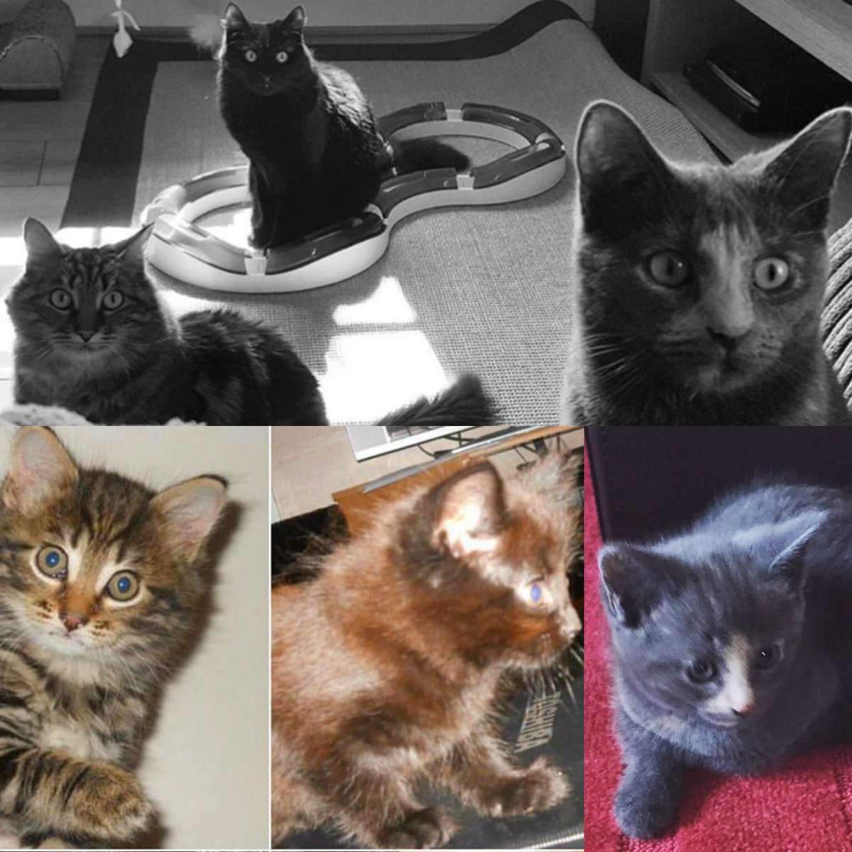@TidyCats Marble, Cocoa & Smudge then and now #KittenWeek 😻 https:...