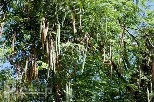 Twitter पर شجرة البان العربي تتشابة شجرة غصن البان اليسر وشجرة المورينجا الأسيوية بالبذور فقط مع اختلاف بسيط وكلاهما من عائلة المورينجا العلمية Https T Co Pineywvnoz