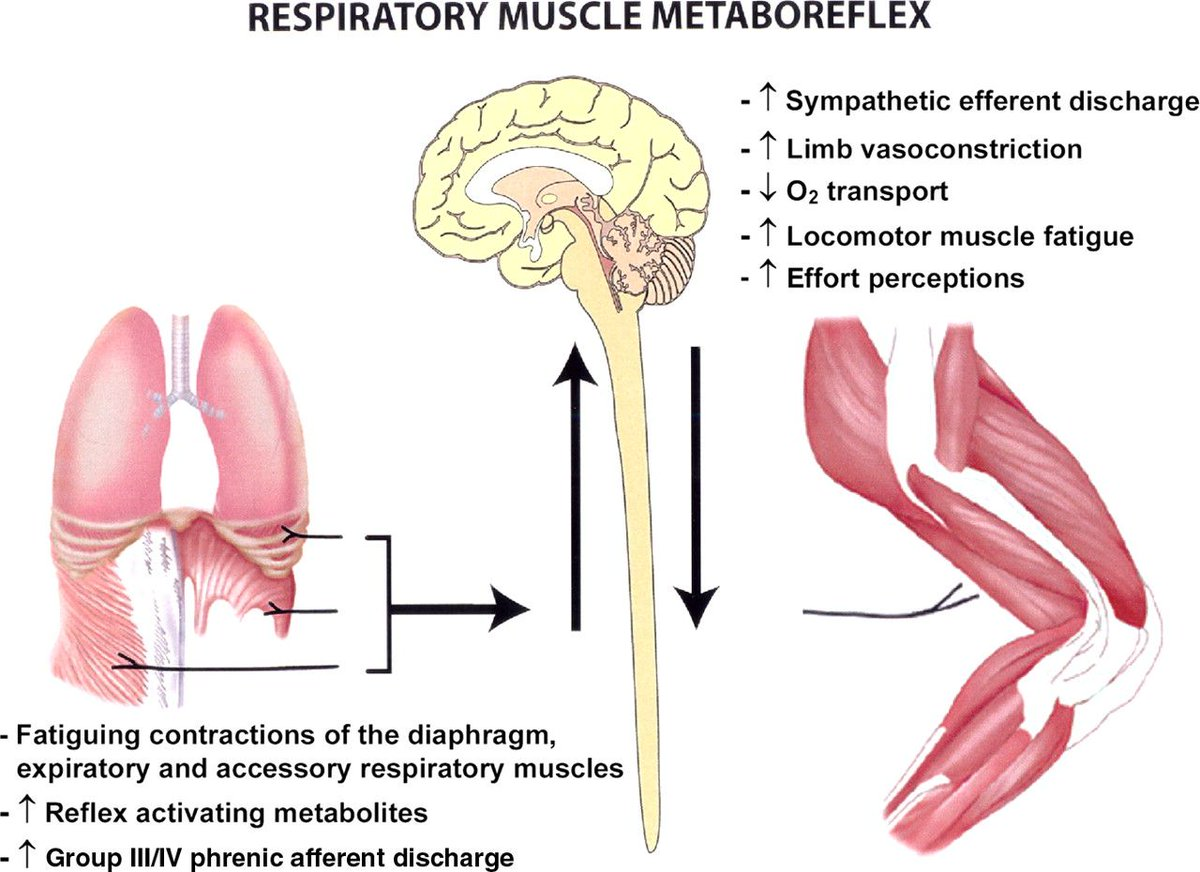 Swimming Science On Twitter Inspiratory Muscle Fatigue Https T Co Ea2rld0un5 Inspiratory Muscle Fatigue