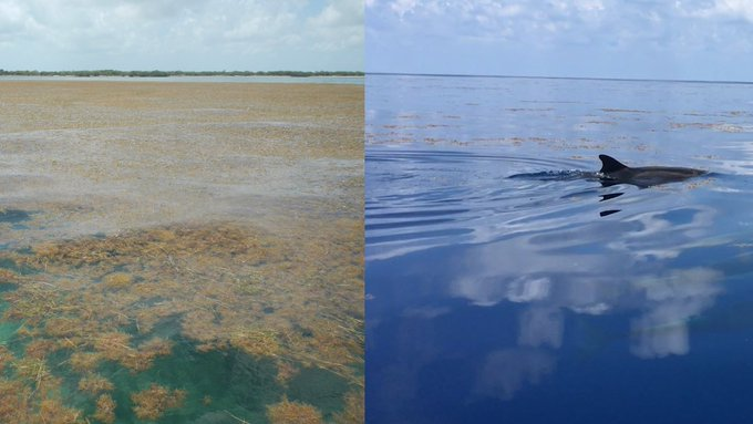 Side by side image of a seaweed bloom on the left with clear water on the right