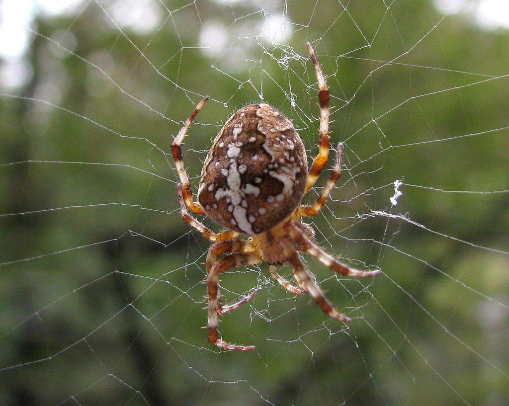 фото паука крестоносца визитки будут