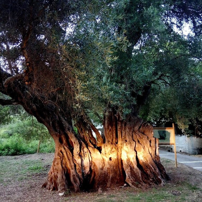 """ANA-MPA news on Twitter: """"'Evdokia', centuries-old olive tree on #Corfu,  acquires date of birth #Greece https://t.co/h1Pe3PwPD4… """""""