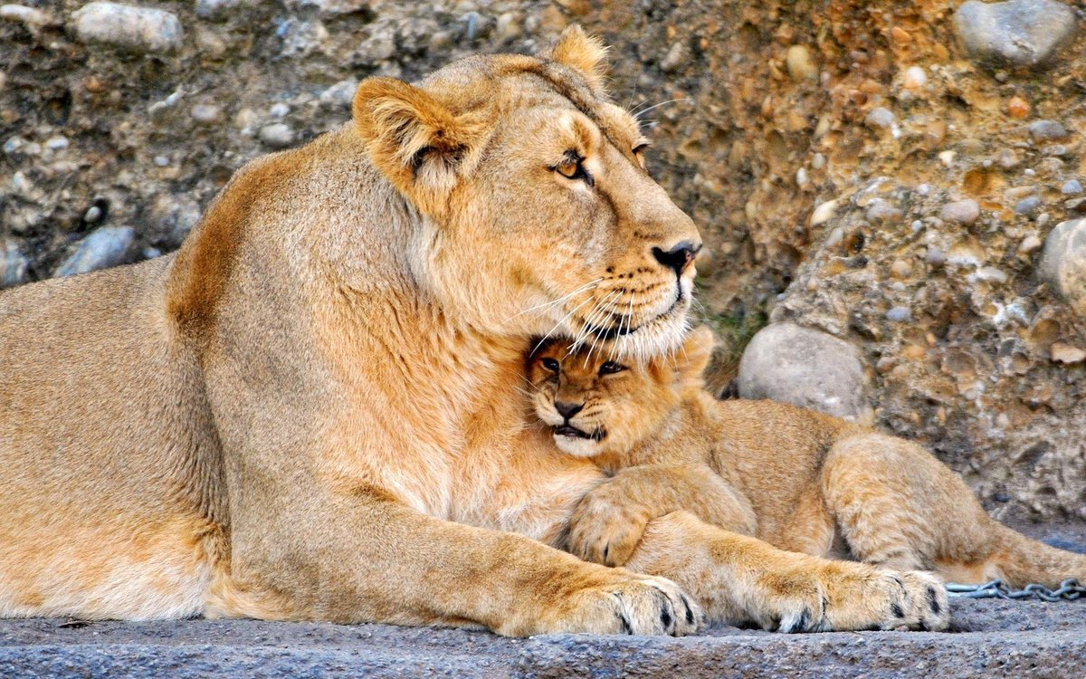 Lion Mother Love With Baby Hugs Forest Animal Images Hd