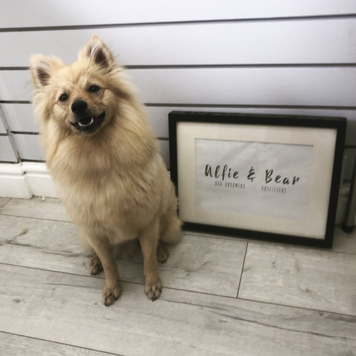 Meet Super Cute Newbie Pumpkin  He Was A Superstar    #DogGrooming #DogGroomer #Pomeranian #Dogs #DogSpa #DogGroomingSalon #DogOfTheDay #DogsOfTwitter #DogLovers #NEFollowers #NewcastleUponTyne<br>http://pic.twitter.com/29Ajo80wrB