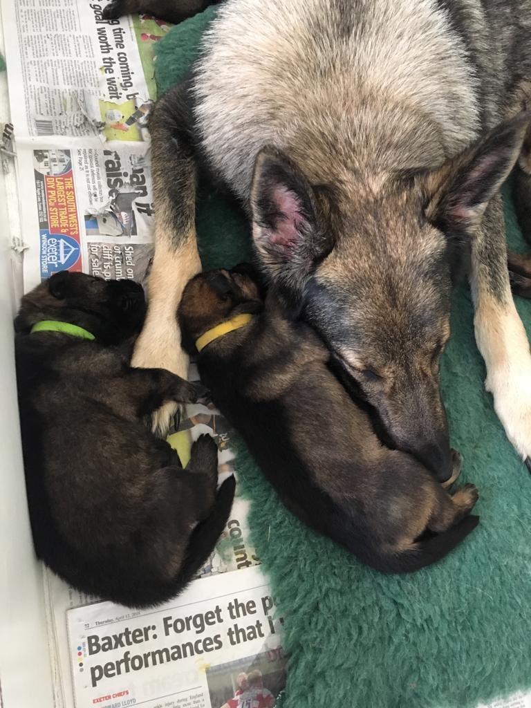DC_Police Dogs ( Puppy Development Program) on Twitter