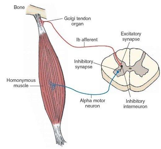Organo tendinoso del golgi