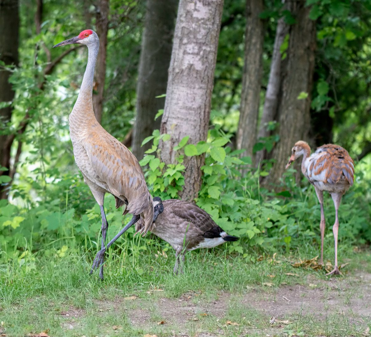 Sandhill Crane Family With Adopted Gosling Jocelyn >> Jocelyn Anderson Photography On Twitter I Recently Watched The