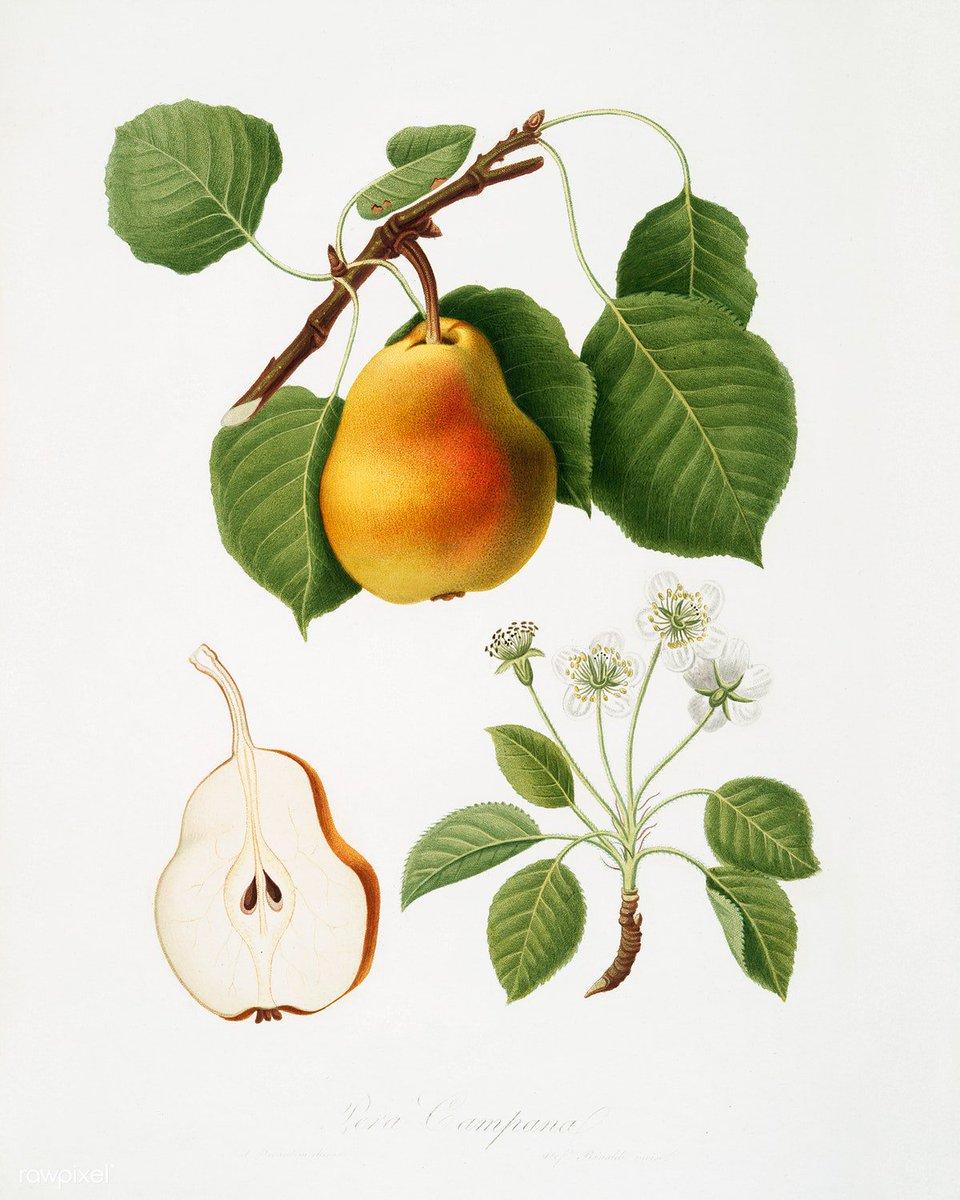 Pear (Pyrus Pompeiana) from Pomona Italiana by Giorgio Gallesio (1772–1839). Original from The New York Public Library. Digitally enhanced by rawpixel. Download this image: http://rawpixel.com/board/320763/pomona-italiana-giorgio-gallesio…
