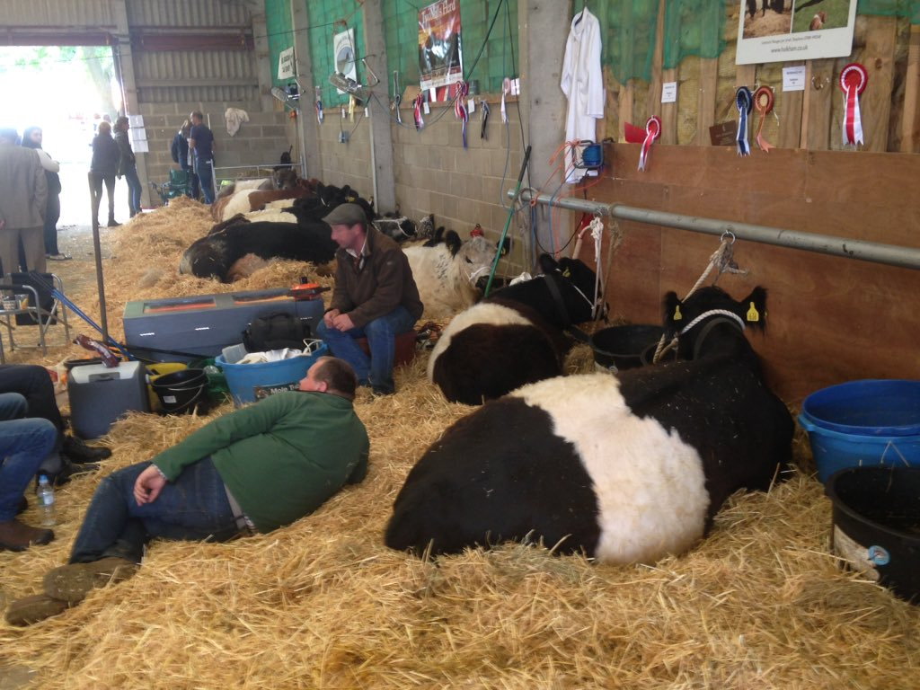 Siesta time in the #beltedgalloway lines @royalnorfolkshow . Even the stockman ......