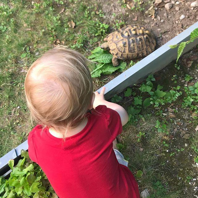 We brought our shelled neighbour something yummy today  will show little #Gu @charlottethetortoise later! #Schildkröte #tortoise #pet #Haustier #Kleinkind #toddler #mamaleben #momlife #yummy #lecker #lebenmitkleinkind #lifewithtoddlers #tortoiseso… https://ift.tt/2KJACybpic.twitter.com/1MCW28qA86