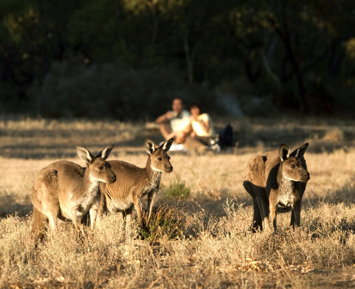 In Barossa Valley, located in South Australia, don't miss the unique opportunity to enjoy breakfast alongside Kangaroos #swaindestinations #barossavalley