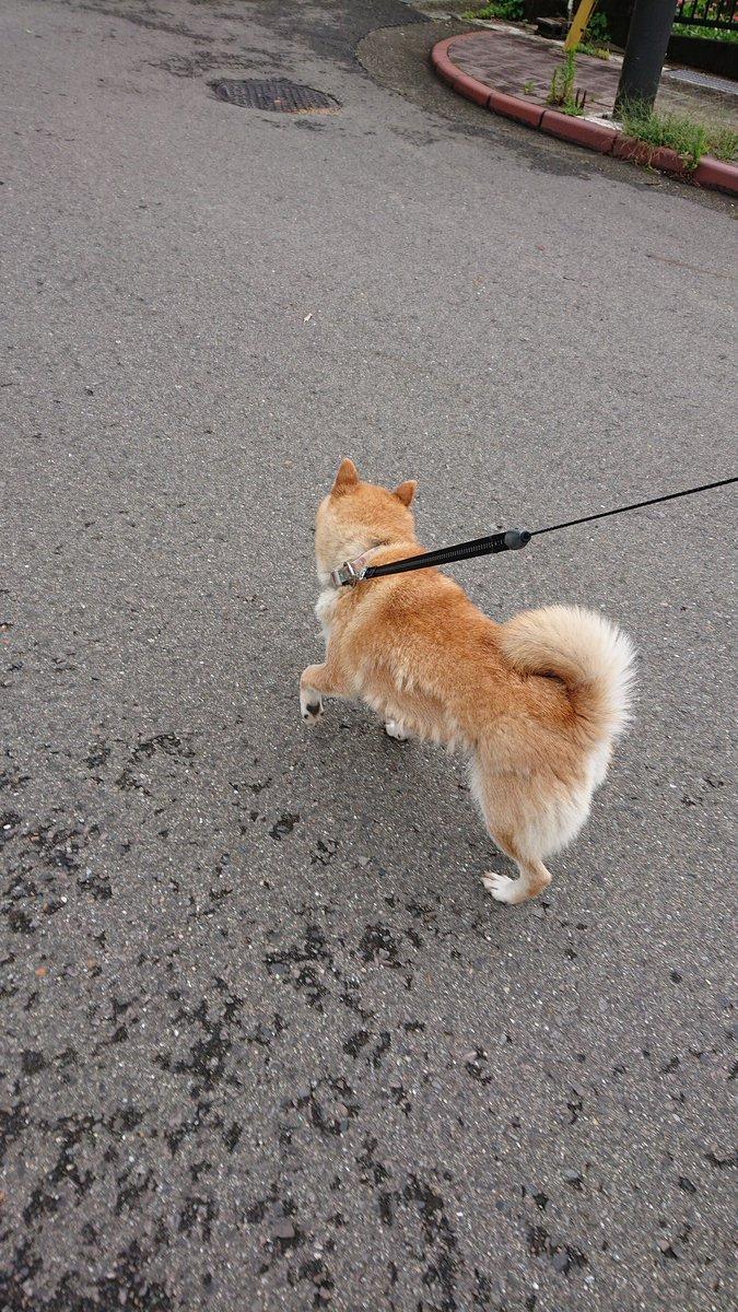 せん ちゃん 柴犬