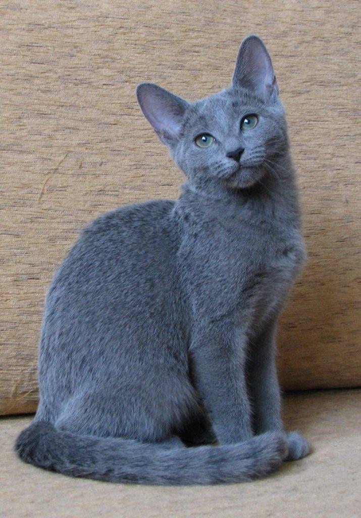 russian blue cat - 736×1054