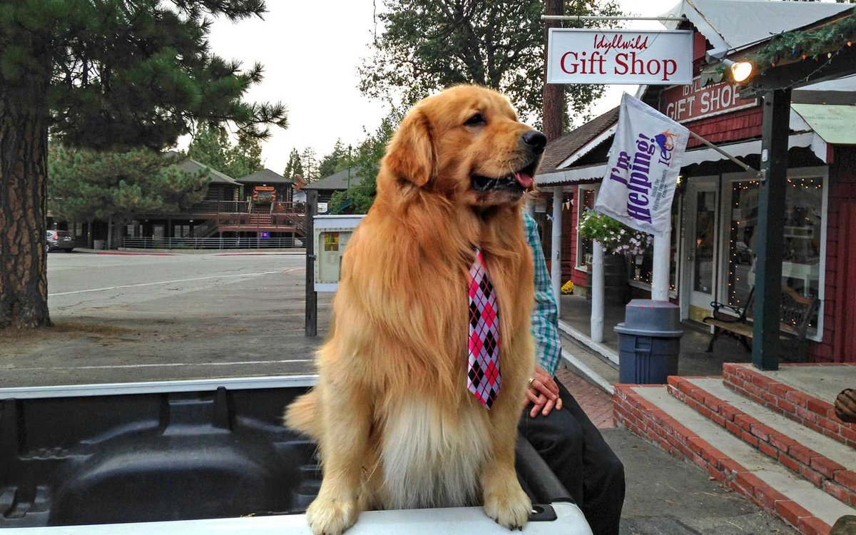 We'd like to request a meeting with Mayor Max. #dogmayor #goldenretriever #dogswithjobs #idyllwild #California https://buff.ly/2WoQagp pic.twitter.com/jBrSdYG30P