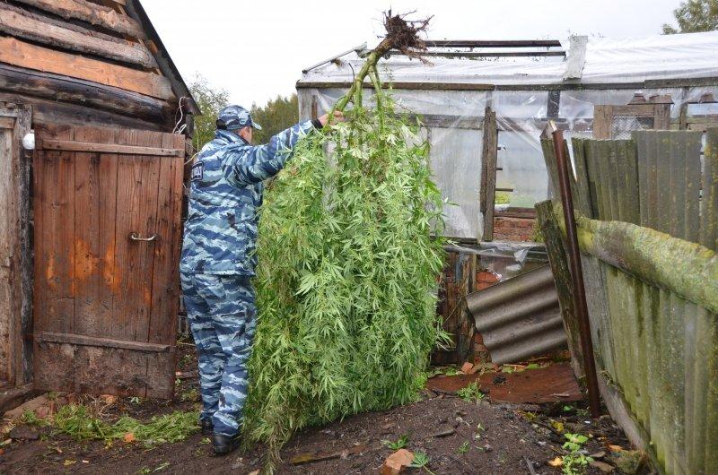 Вырастил кусты конопли в на даче из за чего тест показывает что в моче марихуана