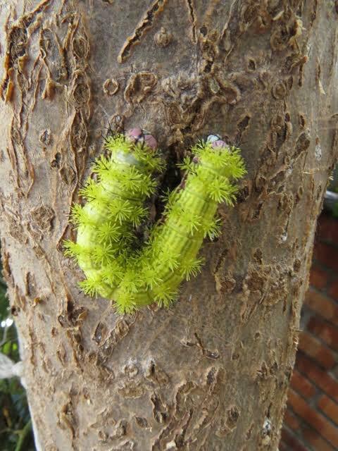 fotos de gusano azotador