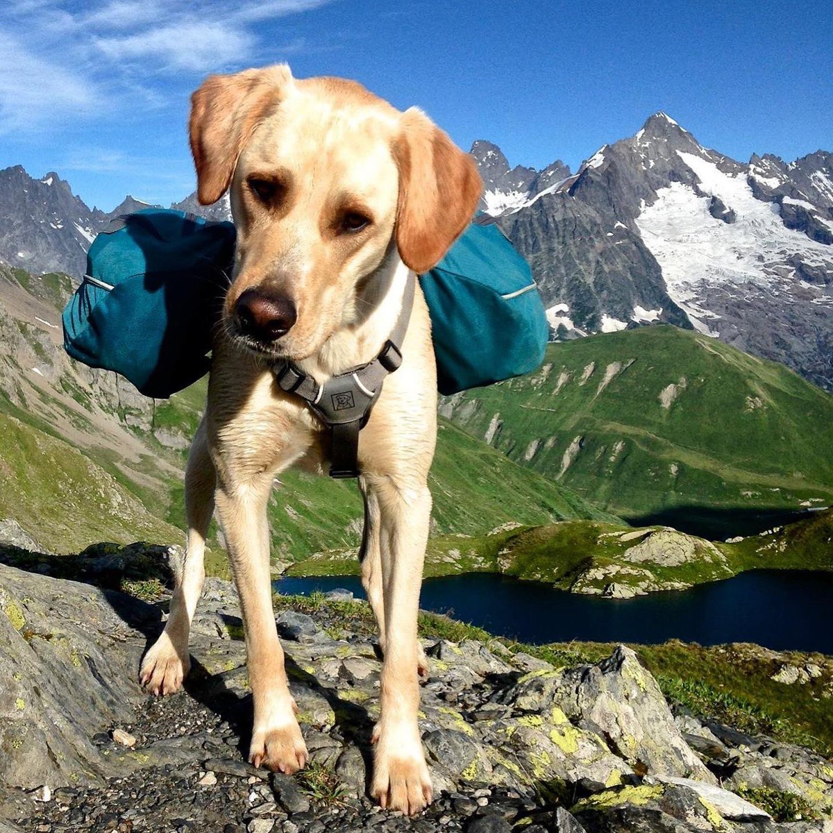 "If ur Scottish please RT  LOST DOG in Scotland!! Please share and help us find him. Last seen on ""Ben Macdui"" in the Cairngorms park on Friday 28.6. around noon. He's wearing a blue backpack, very friendly. Call +33 6 98 73 26 77 if you see him. @gigsinscotland @WalknScotland"