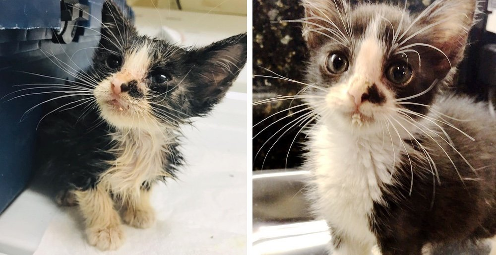 Stray kitten wanders to a neighbors home by himself, meowing for help. See full story and updates: lovemeow.com/kitten-stray-n…