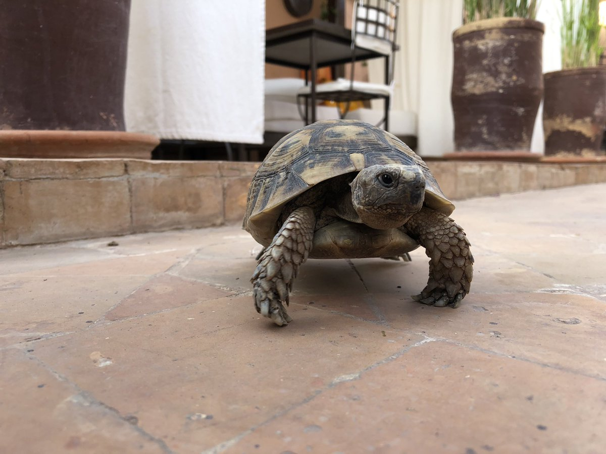 """Seeing a few cats in the Medina as we approached our Riad, we asked if any cats lived inside the Riad. Our host looked down and said, """"No, I'm sorry. But we do have a turtle that's lives on the terrace."""" Little did he know that would be even more exciting! <a target='_blank' href='https://t.co/VWz3pKNCxJ'>https://t.co/VWz3pKNCxJ</a>"""