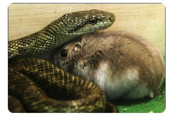 мрачный, смешные картинки змея и крыса князь