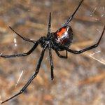 Image for the Tweet beginning: Spider Sunday Western Black Widow -
