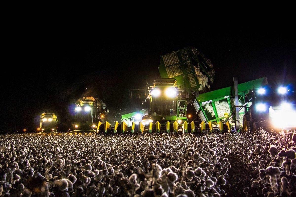 盛り上がってるサマフェスと思っていたら、綿の収穫でした。