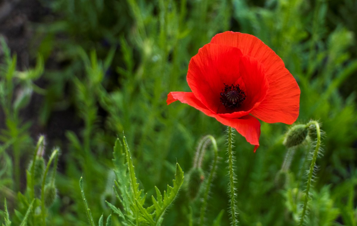 My first Poppy bloom, grown from seed sold in aid of the SSAFA (Armed Forces Charity). Dedicated to a friend who died last month. RIP.