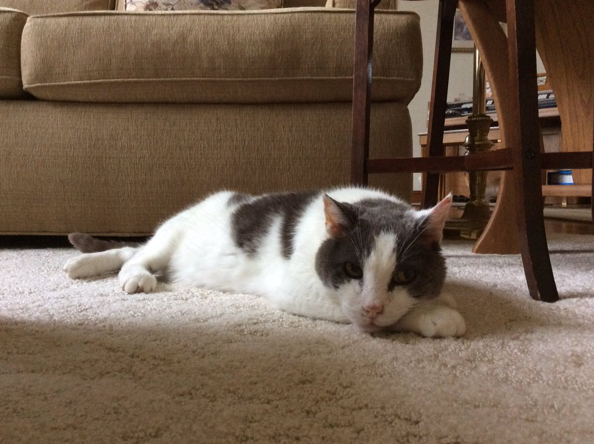 ❤️Loafy Monday in the Midwest....90s, 🌝 sunny in the a.m. then overcast, humid with calm winds...only one thing to do...so turn on Hallmark channel, Gran....and bring the snacks to the couch? @PincyCat @JoyOfCats @sandyincanada @LordGraydon @Aishatonu @#cats @nelliedekat