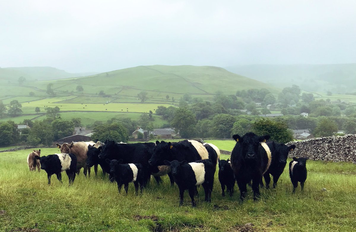 Beltie cows and calves in Jammy Croft with Cawden and Malham village in the background on a mizzly morning.