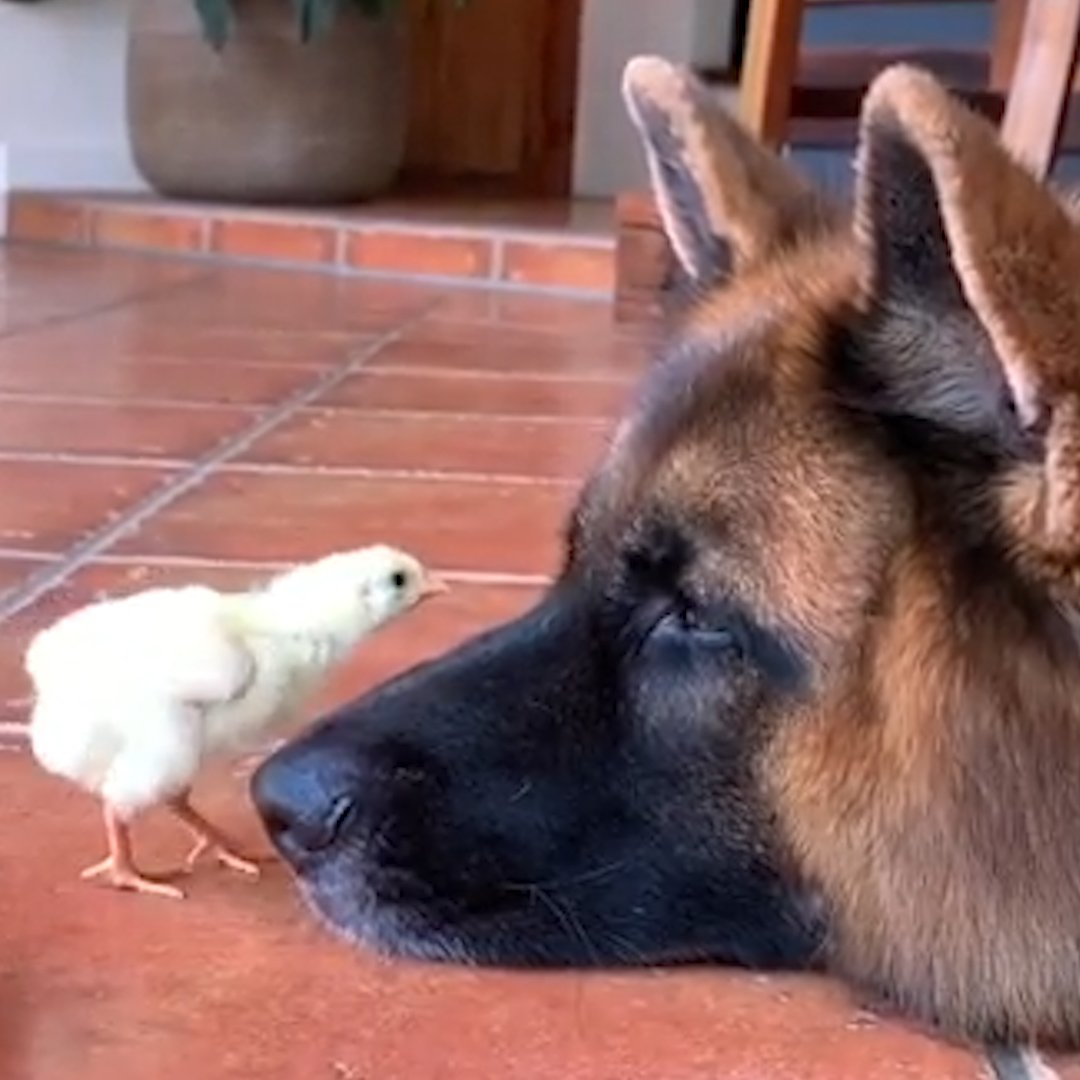 These German shepherds are just so proud of the baby chicks they raised 🐥🐥🐥💚