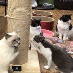 【保護猫カフェGOMA】が7月末をもって閉店・今居る12匹の猫達の里親さんを探しています。