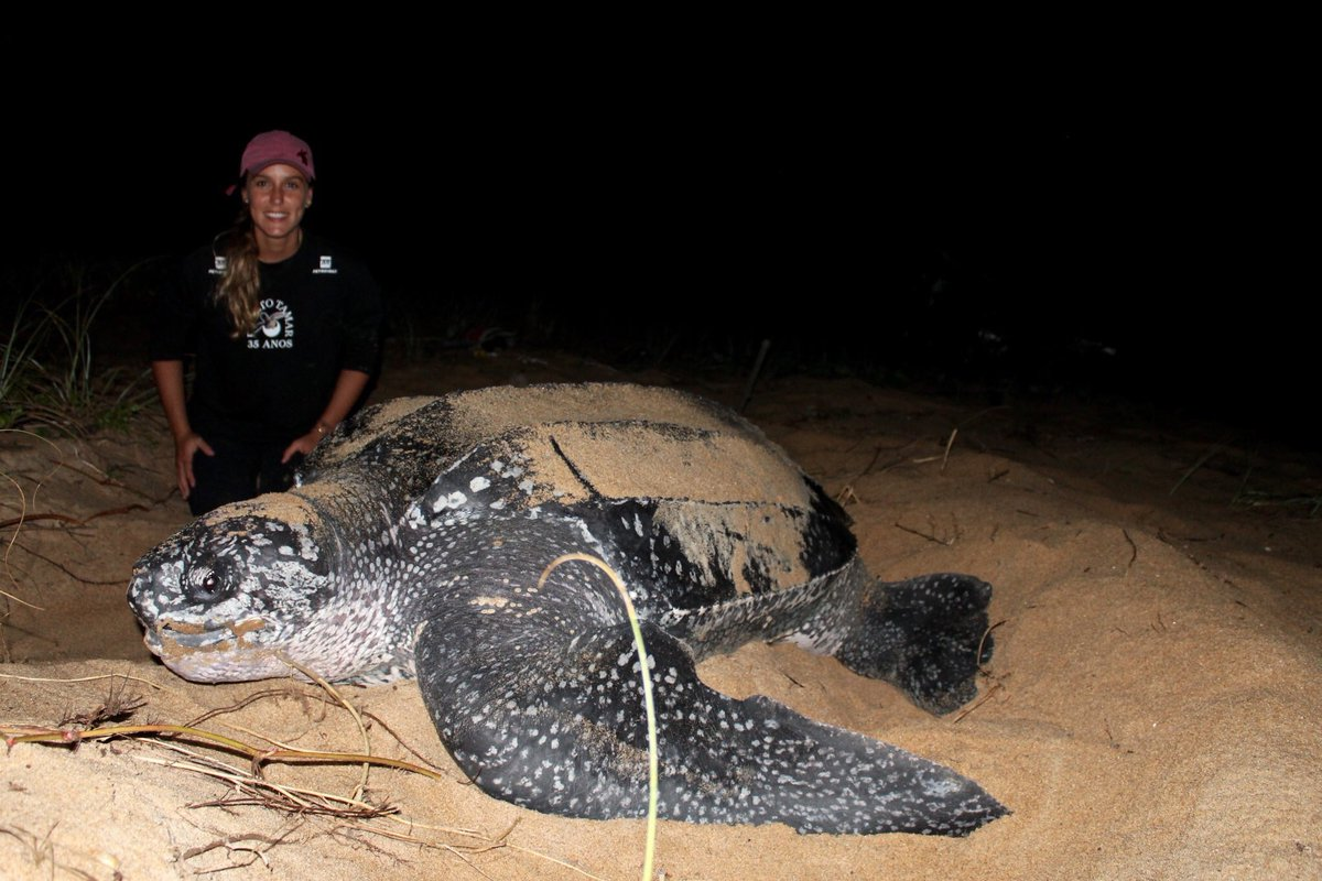 """Brazil's leatherback #turtles are making a """"gentle recovery"""" after 30 years of conservation efforts, new #research shows.   Find out more: http://ow.ly/pyDD50uRs60 – at University Of Exeter In Cornwall"""