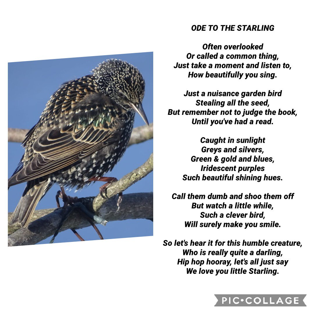 Starlings UK (@UkStarlings) | Twitter