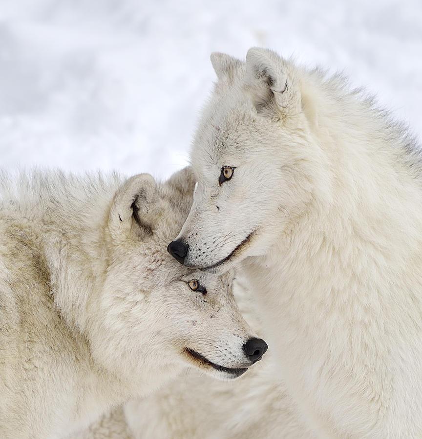 Пятница вечер, влюбленные волки картинки красивые