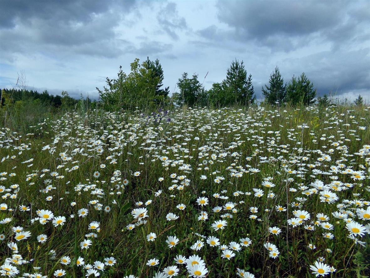 ромашковые поля в ленинградской области с фото обычно